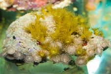Free Coral Polyps In Aquarium Royalty Free Stock Photography - 13734937