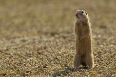 Free European Groun Squirrel Or Souslik Royalty Free Stock Image - 13734986