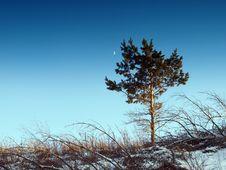 Free Pine, Sky And Moon. Winter. Stock Photo - 13735030