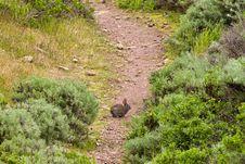 Free Brush Rabbit On A Hiking Trail Stock Photos - 13735683