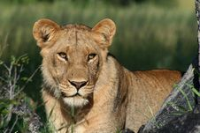 Free Lioness Of The Okavango Royalty Free Stock Image - 13735706