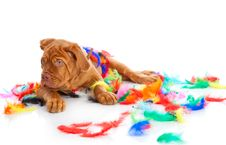 Puppy Of Dogue De Bordeaux (French Mastiff) Royalty Free Stock Photos