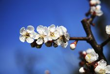 Free Apple Blossoms And Bee Stock Photos - 13736273