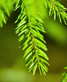 Free Pine Stock Photography - 13736552