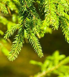 Free Pine Royalty Free Stock Photos - 13736598