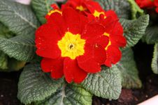 Free Red Primulas Royalty Free Stock Images - 13737089