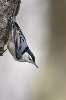 White-breasted Nuthatch Stock Image