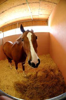 Free Brown Horse Royalty Free Stock Photos - 13737478