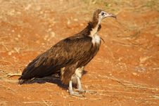 Free Hooded Vulture, Botswana Stock Photography - 13737582