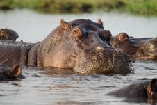 Free Hippopotamus Of Botswana Royalty Free Stock Photo - 13737695