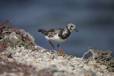 Free Ruddy Turnstone (Arenaria Interpres Morinella) Stock Image - 13737861