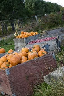 Free Pumpkins And Apples In Orchard Royalty Free Stock Photography - 13738327
