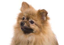 Pomeranian Spitz Portrait Royalty Free Stock Photography