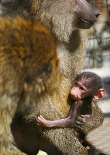 Free Baboon Family With Baby Stock Image - 13738781