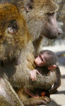 Baboon Monkey Feeding Baby Stock Image