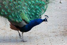 Free Indian Peafowl, Peacock, Pavo Cristatus Royalty Free Stock Photos - 13738848