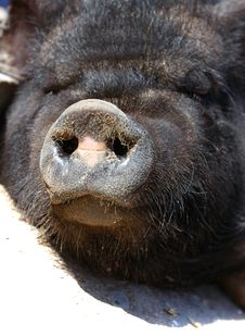 Vietnamese Pig Snout Royalty Free Stock Image