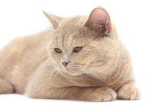 Free British Cream Shorthair Cat Stock Photos - 13739293