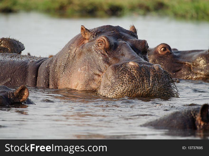 Hippopotamus of Botswana