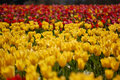 Free Tulip Field Stock Photos - 13741943