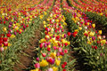 Free Mixed Color Tulip Field Stock Photos - 13741953