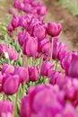 Free Purple Tulips Closeup Stock Photo - 13741960
