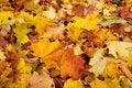 Free Maple Autumn Royalty Free Stock Photography - 13747177