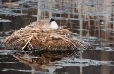 Free Mother Canada Goose On Nest In Pond Stock Images - 13740144