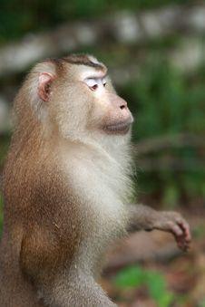 Free Monkey Royalty Free Stock Photo - 13740395