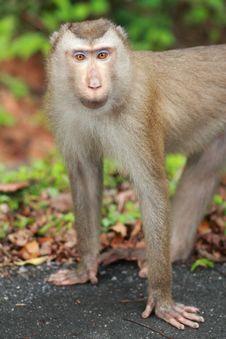 Free Monkey Royalty Free Stock Images - 13740419