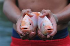Free Two Fishes In Hands Stock Photography - 13740422
