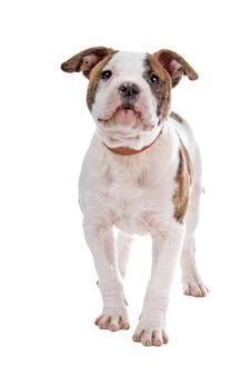 American Bulldog Puppy Stock Photo