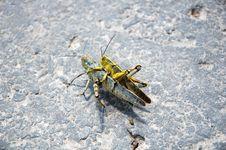 Free Grasshopper Stock Image - 13740601