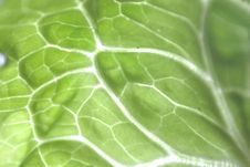 Free Cabbage Leave Royalty Free Stock Photography - 13741237