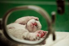 Free Baby White Tiger In The Nursing Room Stock Photos - 13741303