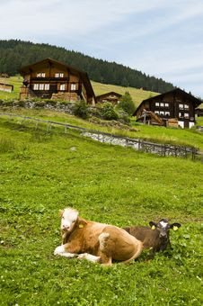 Free Gimmelwald Cows Stock Photo - 13741500