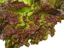 Free Red Lettuces Stock Image - 13741531
