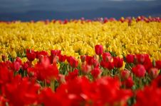 Free Tulip Field Royalty Free Stock Photos - 13741938