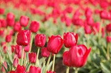 Free Red Tulips Row Closeup Royalty Free Stock Photos - 13741968