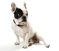Free The French Bulldog Royalty Free Stock Photos - 13742028