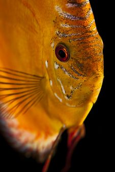 Free Discus Fish - Symphysodon Aequifasciatus Royalty Free Stock Photography - 13742577