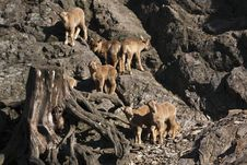 Free Barbary Sheep Sucklings Royalty Free Stock Photo - 13743225
