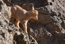 Free Barbary Sheep Juvenile Royalty Free Stock Images - 13743249
