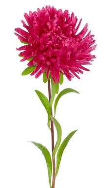 Free Close-up Red Aster Royalty Free Stock Photography - 13743517