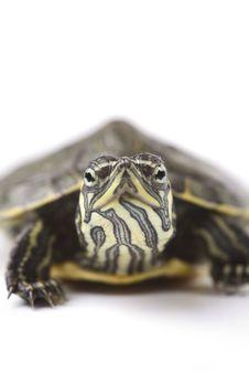 Free Turtle Royalty Free Stock Photo - 13743535