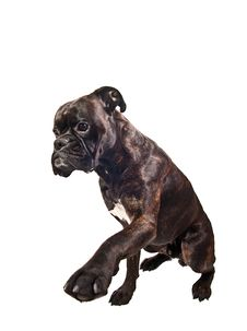 Free Boxer Dog Asking For Food Giving Leg Trick Royalty Free Stock Image - 13743926