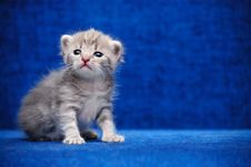 Free Kitten On A Blue Background Royalty Free Stock Photography - 13744587