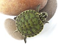 Free Turtle In Water Stock Photography - 13744712