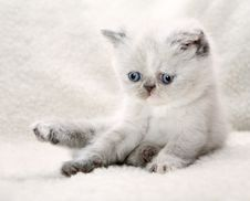 Fluffy Blue-eyed Kitten Royalty Free Stock Photo