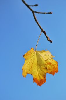 Free Maple Leaf Stock Images - 13745034